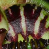 Cephalotus9