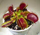 purplepitcher1