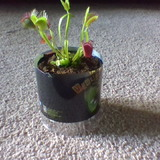 flytrapman