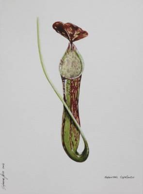 Nepenthes Copelandii Botanical Art