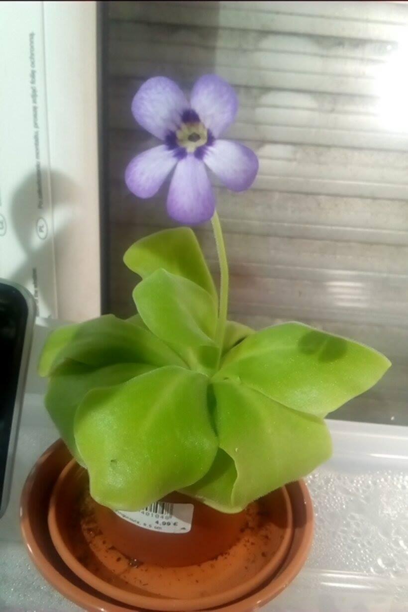 Pinguicula flower 56770479_2337054929863233_5518305309115809792_n