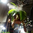 Nepenthes misting 57382410_340388106834126_5180006583639212032_n
