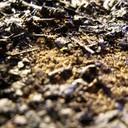 Byblis liniflora Seedling