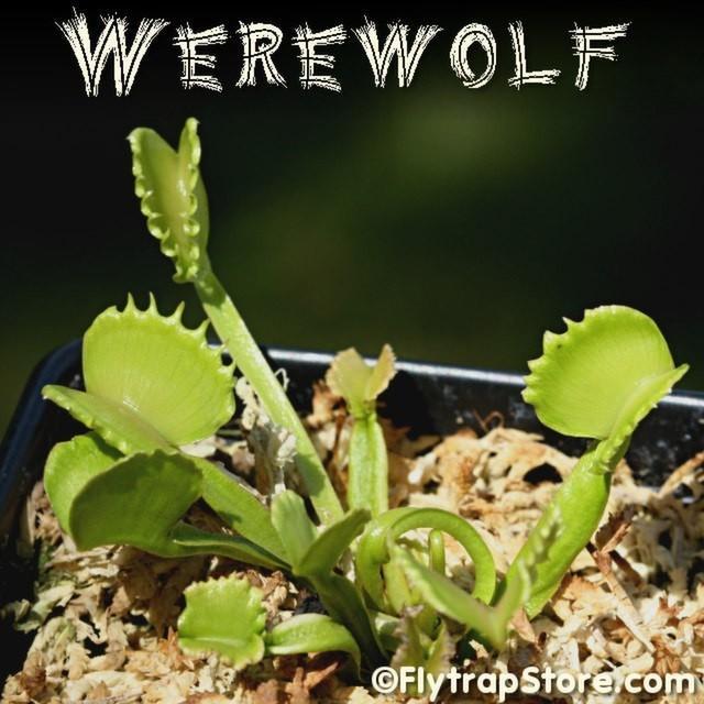 Werewolf 4