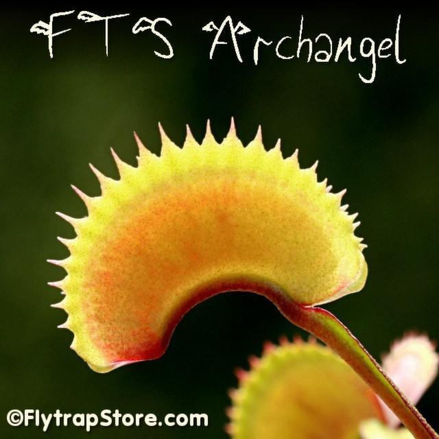 FTS Archangel 4
