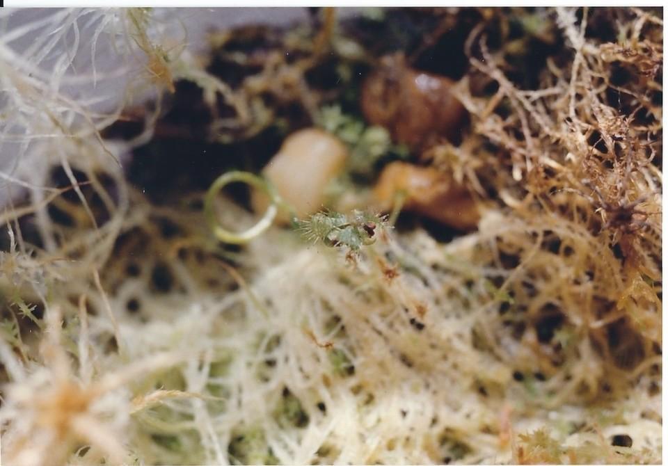 carnivorous.14 Drosera Seedling