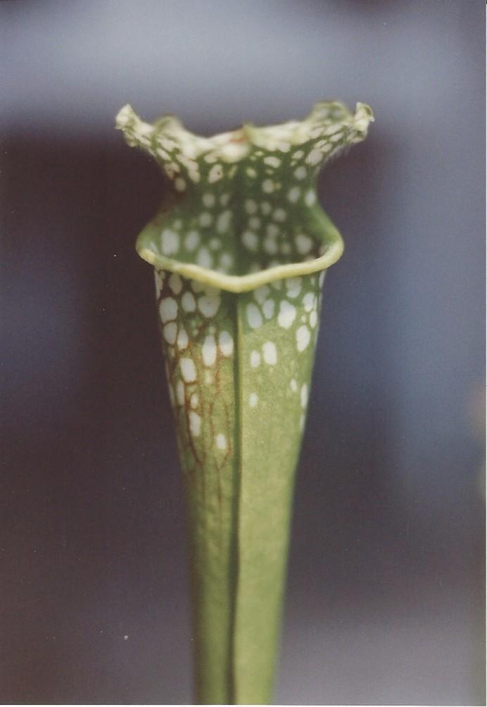 Pitcher Plant Sarracenia flava