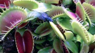 Dionaea Muscipula 2013