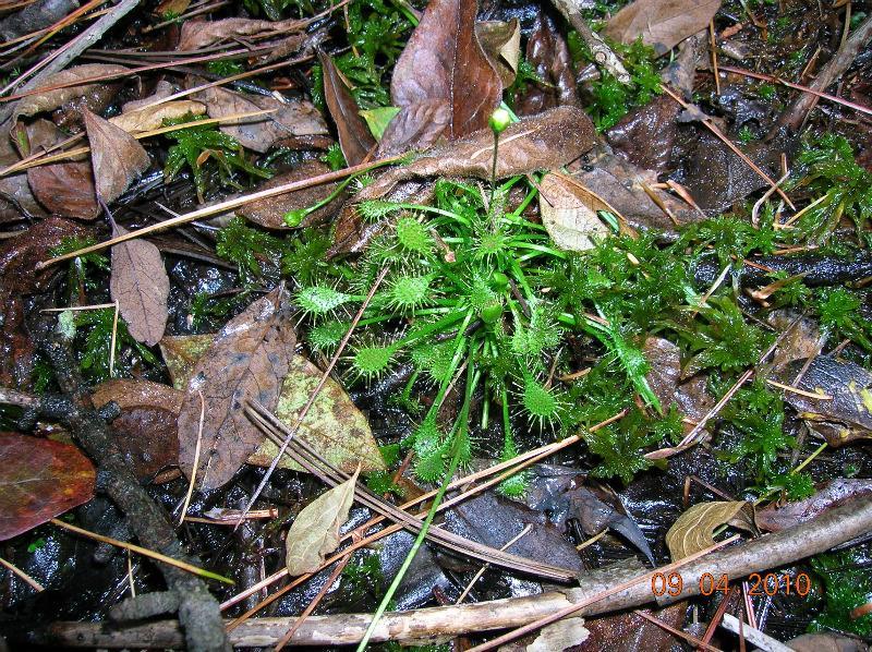 Drosera rotundifolia, small and green under a bush