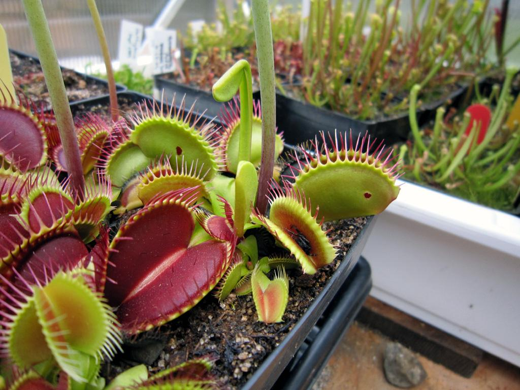Earwigs giving my plants problems! : Photos of Venus Fly Traps