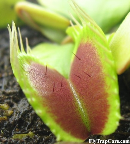 Trigger Hairs on a Venus Fly Trap leaf