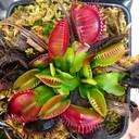 A few flytraps in early Spring 2014
