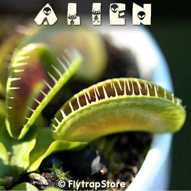 Alien Venus flytrap