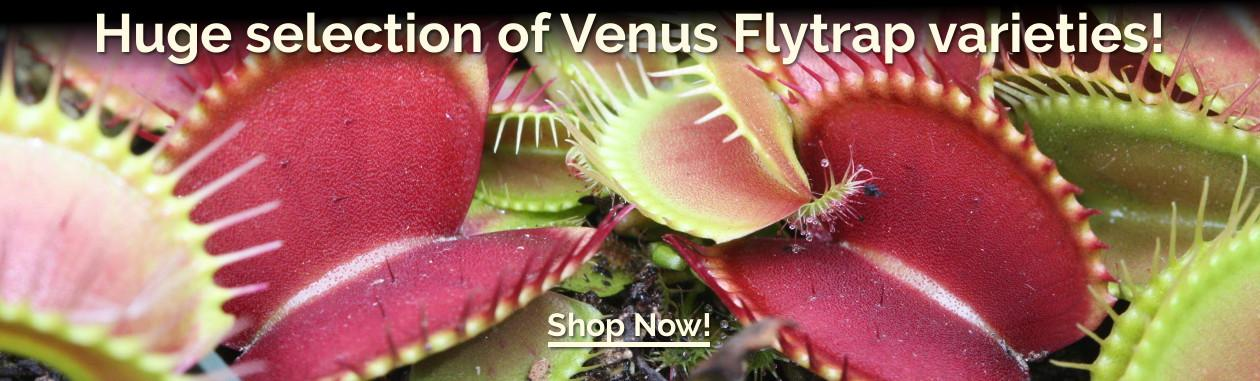 Huge selection of Venus Flytrap varieties!