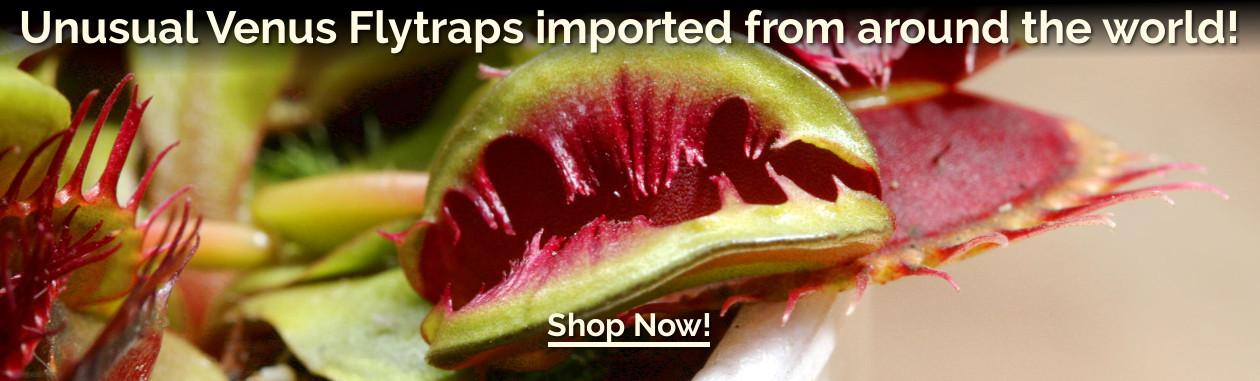 Unusual Venus Flytraps imported from around the world!