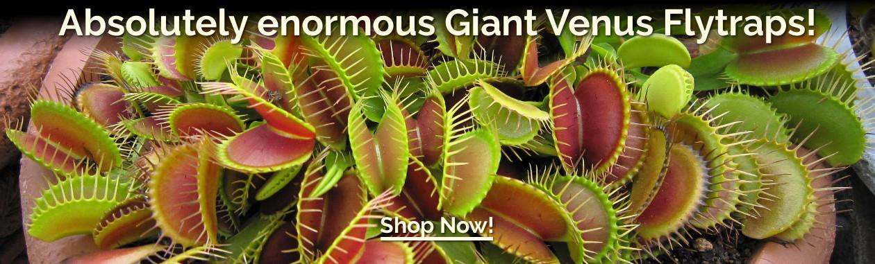 Absolutely enormous Giant Venus Flytraps!