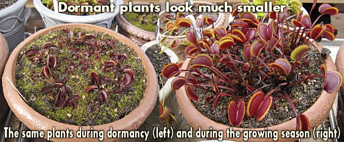 Venus Flytrap size difference between growing season and dormancy