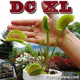 DC XL Venus Fly Trap