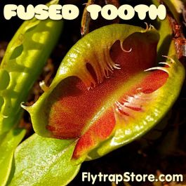 Fused Tooth