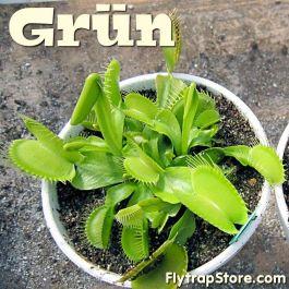 Venus Fly Trap Grun