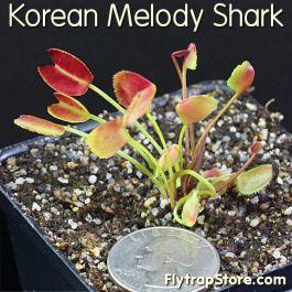 Korean Melody Shark Venus Flytrap