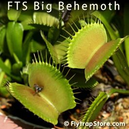 FTS Big Behemoth Venus fly trap