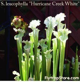 """Sarracenia leucophylla """"Hurricane Creek White"""""""