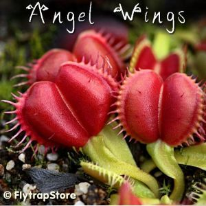 Angel Wings venus flytrap