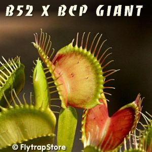 B52 x BCP Giant Venus fly trap
