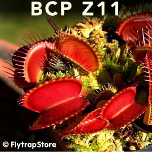 BCP Z11 Venus fly trap