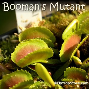 Booman's Mutant Venus fly trap