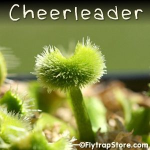 Cheerleader Venus flytrap