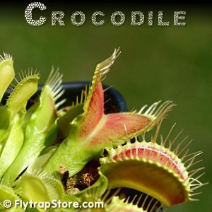 Crocodile Venus fly trap