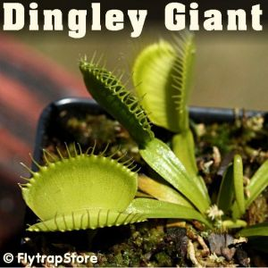 Dingley Giant