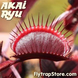 Akai Ryu