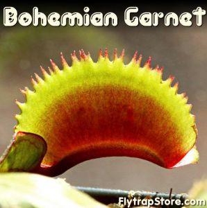Bohemian Garnet Venus Flytrap