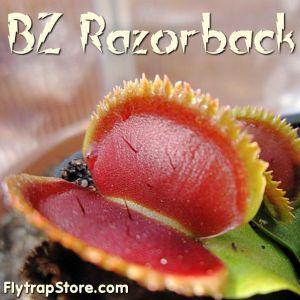 BZ Razorback