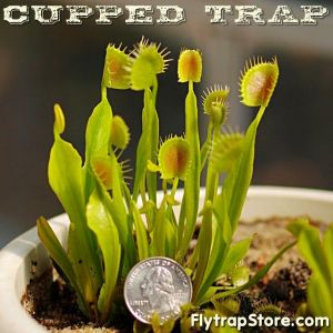 Cupped Trap