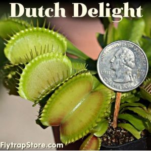 Dutch Delight