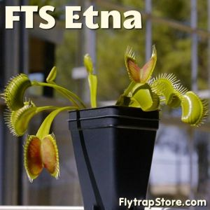 FTS Etna Venus Flytrap