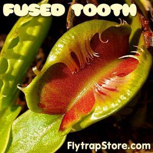 Venus Flytrap Seeds, Fused Tooth x Fused Tooth