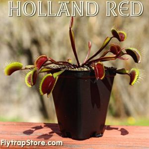 Holland Red