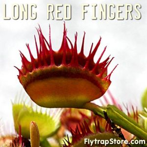 Long Red Fingers
