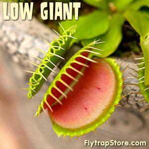 Low Giant