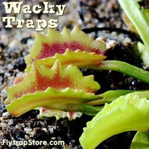 Wacky Traps