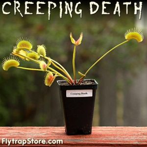 Creeping Death Venus Fly Trap