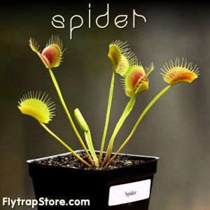 Spider Venus Fly Trap