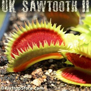 UK Sawtooth II Venus Fly Trap