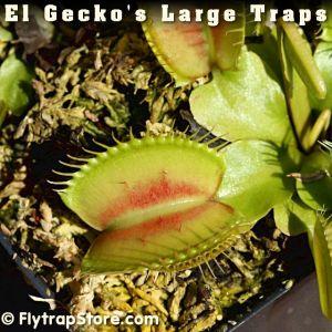 El Gecko's Large Traps Venus flytrap