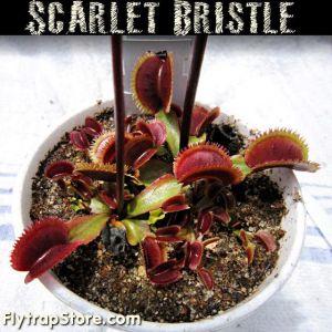 Scarlet Bristle Venus flytrap